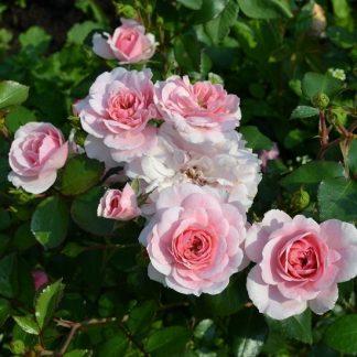 саженец Роза Боника 82