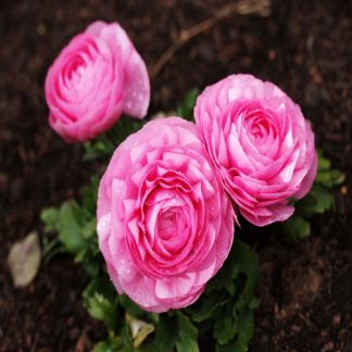 саженец Ранункулюс Розовый