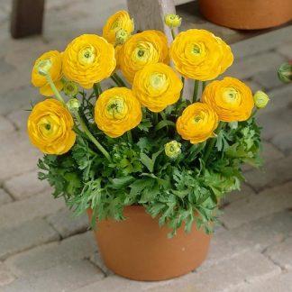 саженец Ранункулюс желтый