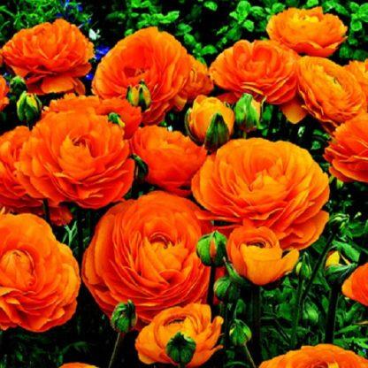 саженец Ранункулюс оранжевый