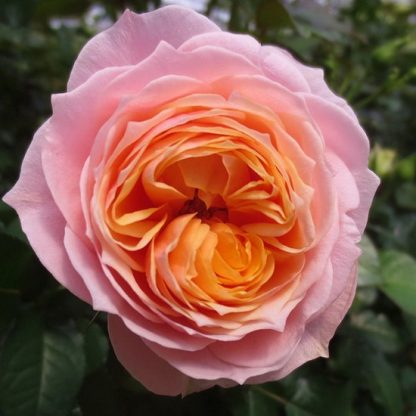 Роза Вувузела вид 1
