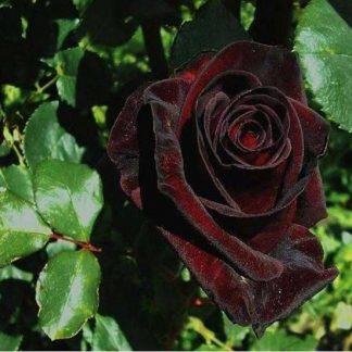 саженец Роза Черный Принц