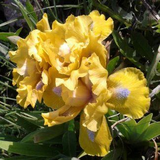 Ирис карликовый желтый